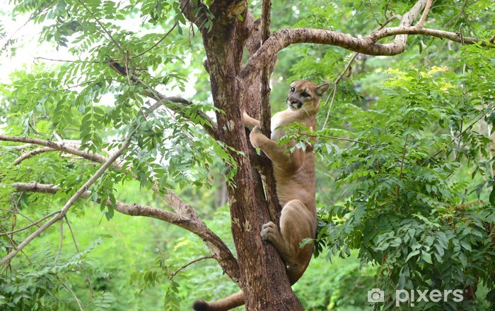 puma climbing on tree Vinyl Wall Mural - Mammals
