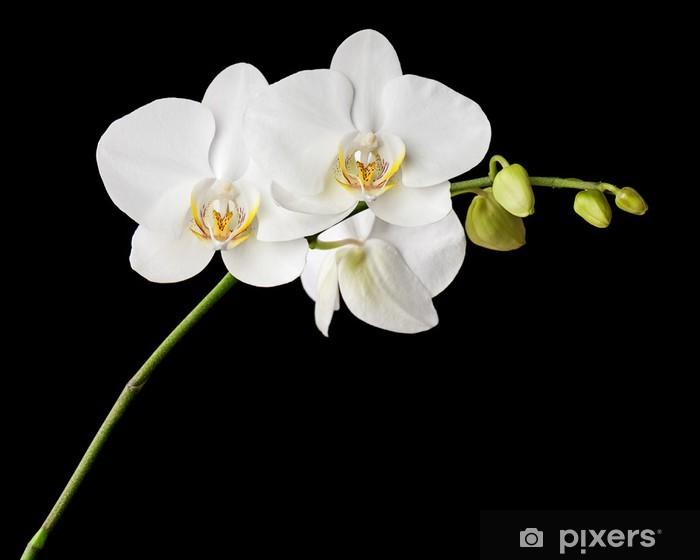 Fototapeta winylowa Trzy dni starego biała orchidea na czarnym tle. - Tematy