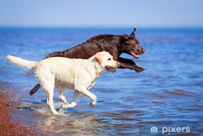 Papier peint vinyle Deux labrador retriever chien - Mammifères
