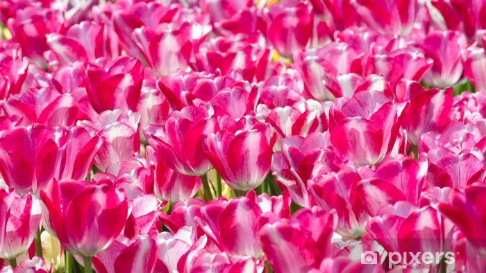 Naklejka Pixerstick Tulipany - Kwiaty