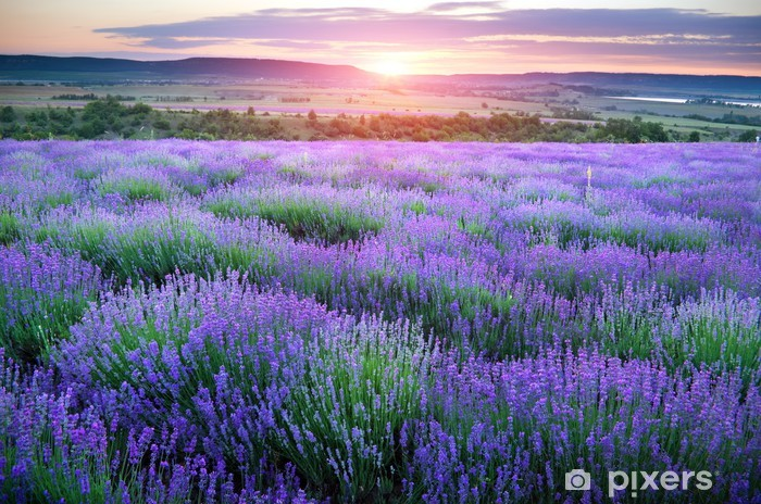 Meadow of lavender. Pixerstick Sticker - Styles