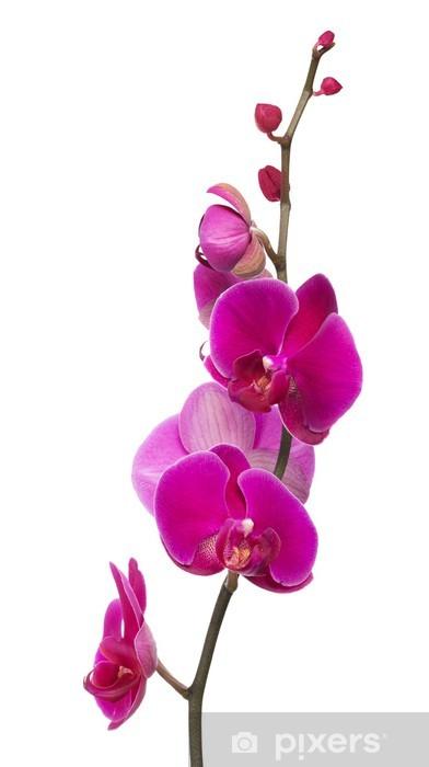 Sticker Branche Avec Lumineux Grandes Fleurs D Orchidee Rose