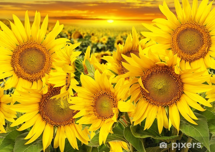 Autocolante Pixerstick sunflowers on a field and sunset - Temas