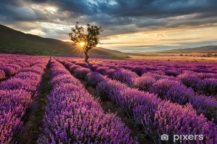 Stunning landscape with lavender field at sunrise Vinyl Wall Mural - Themes