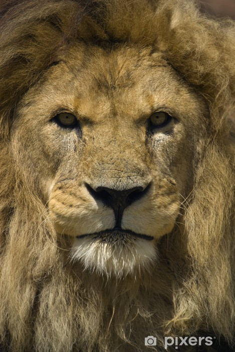 Papier peint vinyle Lion - Thèmes