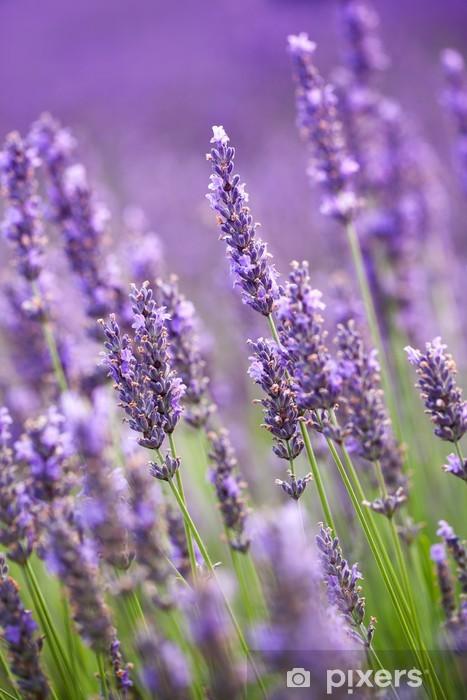 Vinil Duvar Resmi Lavanta çiçekleri -