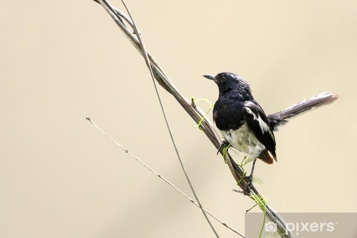 Carta da Parati in Vinile Bellissimo maschio Oriental Magpie-Robin seduto sul filo - Uccelli