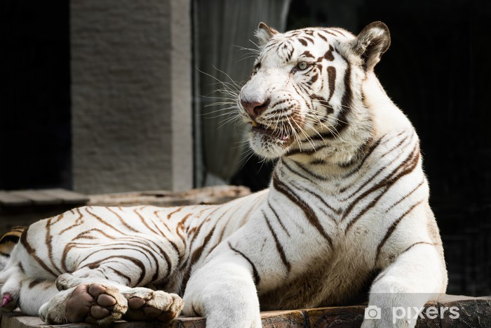 Vinyl-Fototapete White Bengal Tiger - Säugetiere