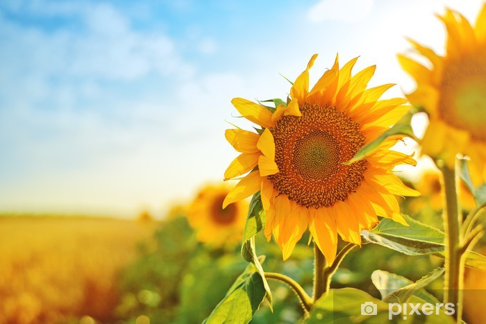 Sunflowers in the field Vinyl Wall Mural - Themes