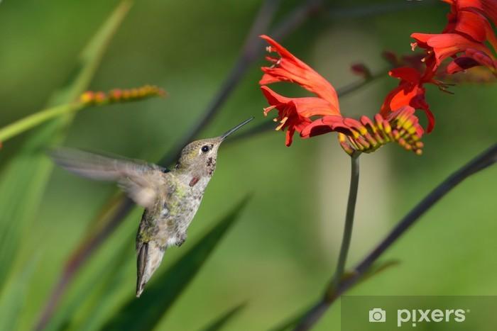 Papier peint vinyle Annas Hummingbird se nourrissant de fleurs Crocosmia - Oiseaux