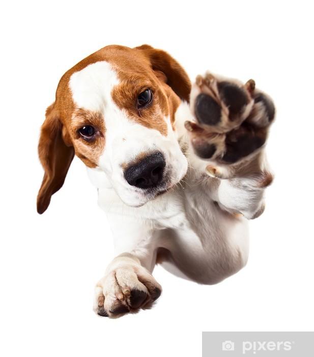 Fototapeta winylowa Beagle na białym tle - Ssaki