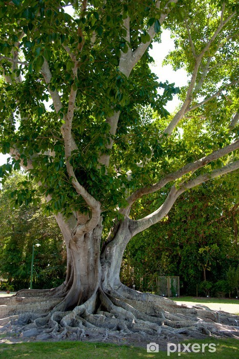 Roots of a Banyan Tree at Edison-Ford Estates Pixerstick Sticker - America