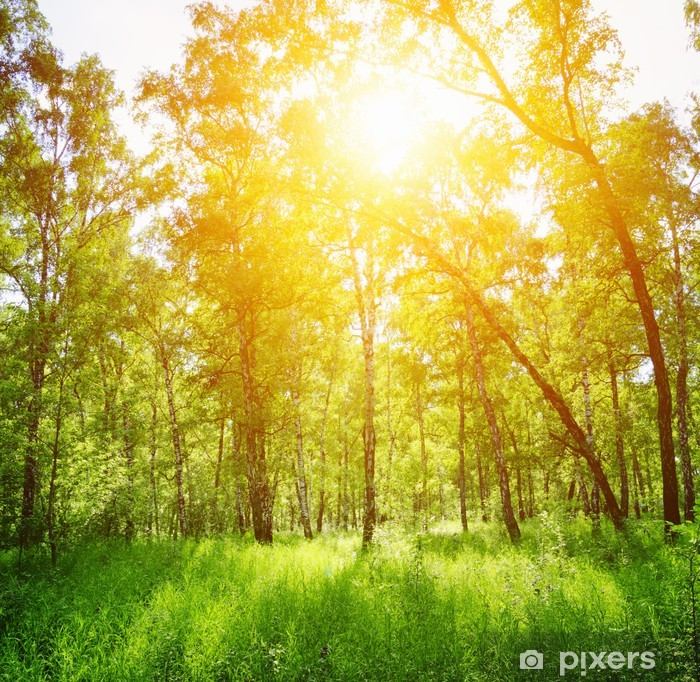 Birch forest on a sunny day. Green woods in summer Poster - Themes