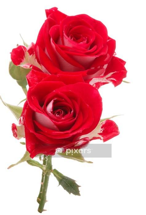Adesivo da Parete Rosa rossa bouquet di fiori isolato su sfondo bianco ritaglio - Celebrazioni