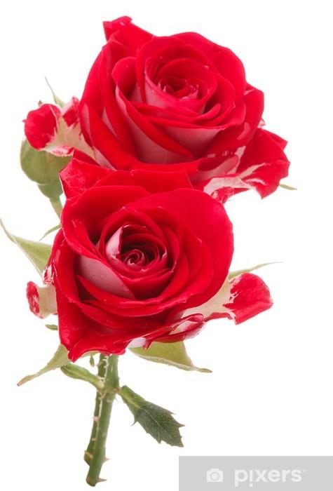 Adesivo Pixerstick Rosa rossa bouquet di fiori isolato su sfondo bianco ritaglio - Celebrazioni