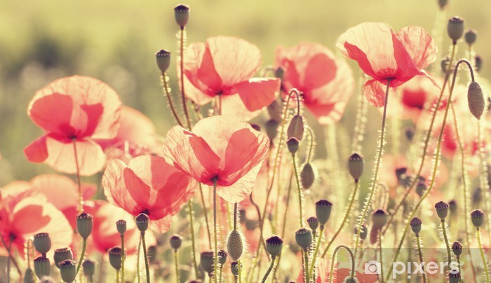poppy flowers Self-Adhesive Wall Mural - Destinations