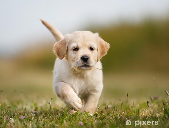 Golden retriever puppy running towards camera Wall Mural - Vinyl