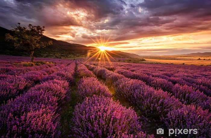 Stunning landscape with lavender field at sunrise Vinyl Wall Mural -