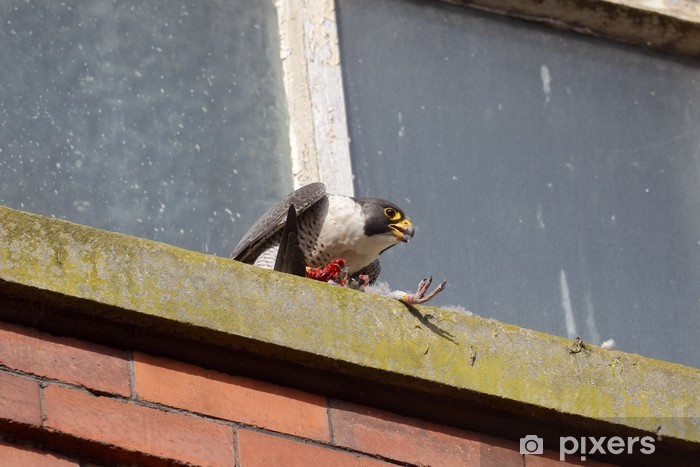Nálepka Pixerstick Sokol, Falco peregrinus - Ptáci