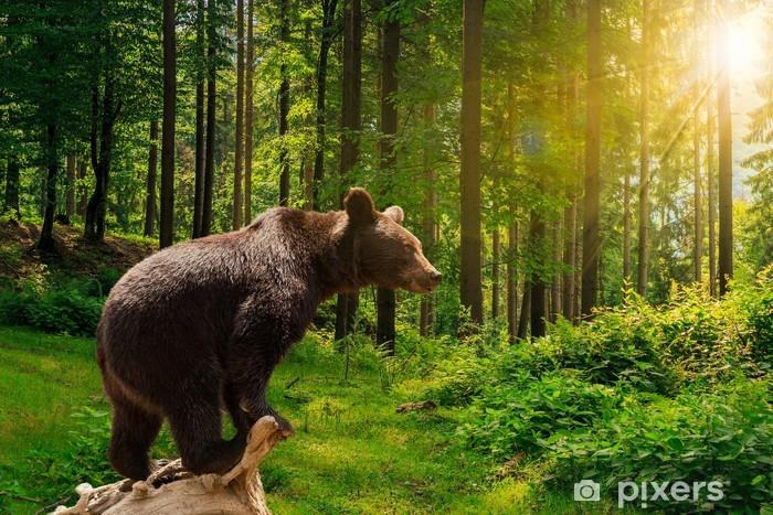 Fototapeta winylowa Ciekawy mały niedźwiedź w lesie - Ssaki