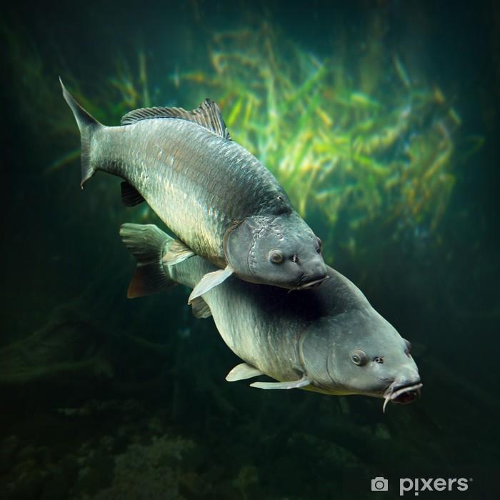 Vinyl Fotobehang Onderwater foto van een paai Karpers (Cyprinus Carpio). - Thema's