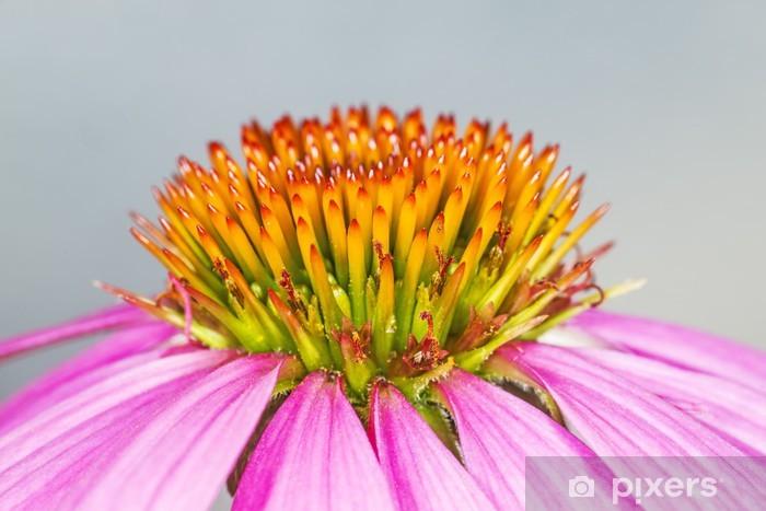 Fototapeta winylowa Kwiatowych; Echinacea; purpurea; - Zdrowie i medycyna