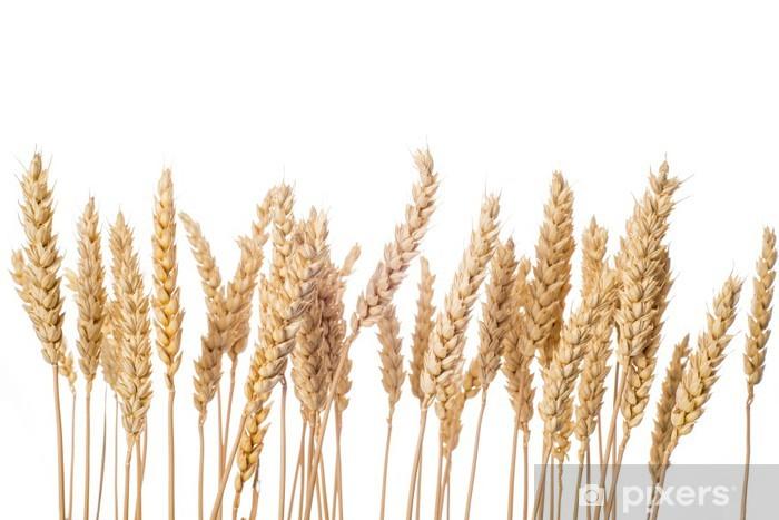 Fototapeta winylowa Kłosy zbóż pszenicy na białym tle jęczmienia - Rolnictwo