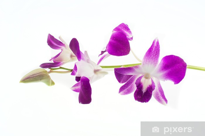 Purple orchid on white background Vinyl Wall Mural - Flowers