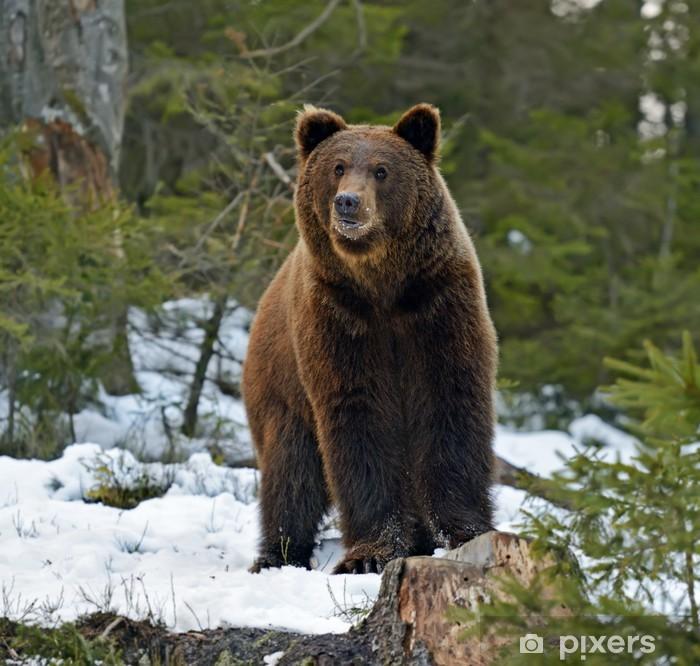 Sticker Pixerstick L'ours brun dans les bois en hiver - Thèmes