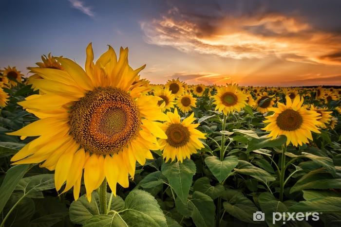Beautiful sunset over a sunflower field Vinyl Wall Mural - Themes
