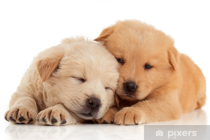 Two Cute Chow Chow Puppies Isolated Over White Background Wall Mural Vinyl