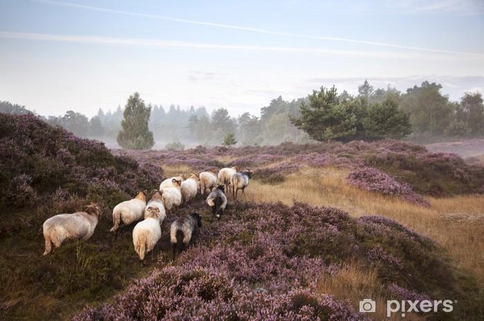 Fototapeta winylowa Owce na purpurowy kwitnienia wrzosu - Wrzos