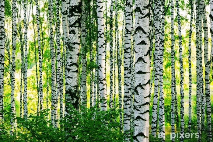 Fototapeta zmywalna Las brzozowy - Tematy