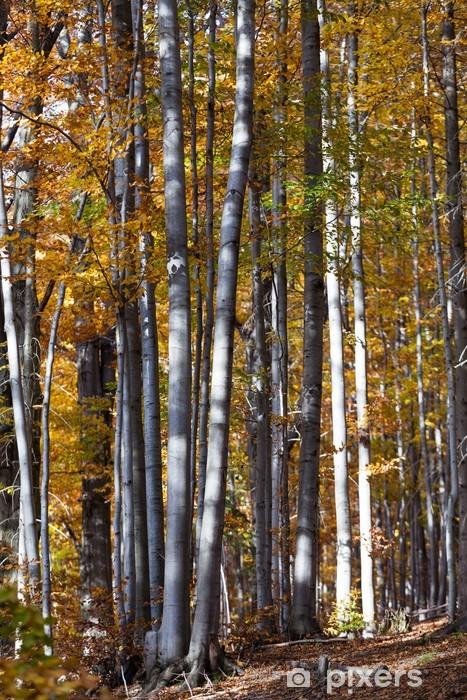 Fototapeta winylowa Pnie drzew srebrno-buk przeciwko suchych liści - Drzewa