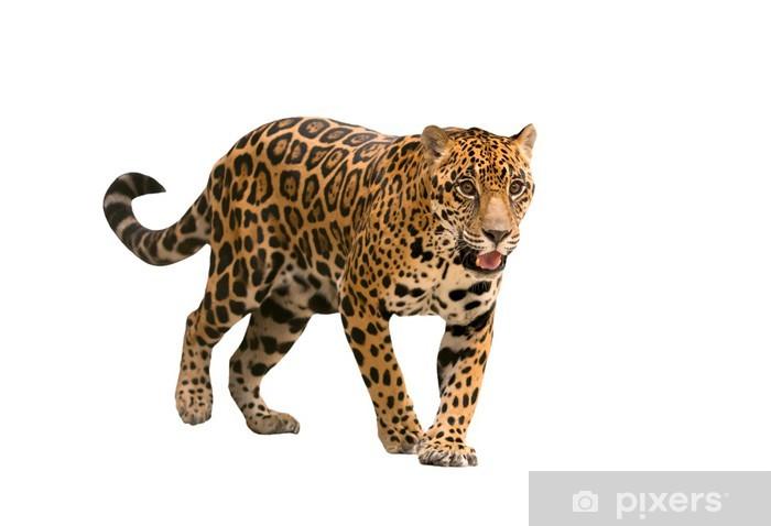 Fototapeta winylowa Jaguar (Panthera onca) samodzielnie - Ssaki