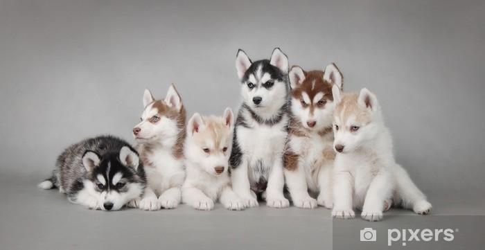 Naklejka Pixerstick Siberian husky szczeniak - Husky