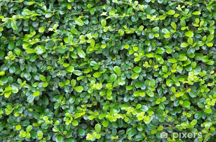 Papier peint vinyle Les feuilles vertes fond de mur. - Arrière plans