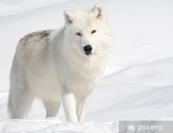 Papier peint vinyle Loup arctique dans la neige en regardant la caméra -