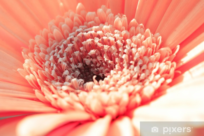 Naklejka Pixerstick Pink gerbera close-up - Kwiaty