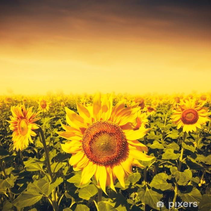 Poster Coucher de soleil de beauté sur le champ de tournesols, les milieux environnementaux - Saisons