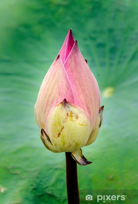 Asian Pink Lotus Flowers In The Pond On Green Background Sticker