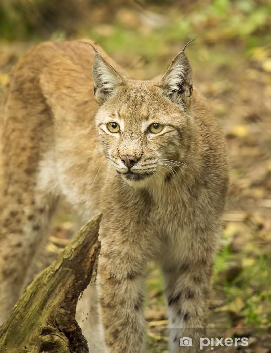 Papier peint vinyle Le lynx d'Eurasie - Mammifères