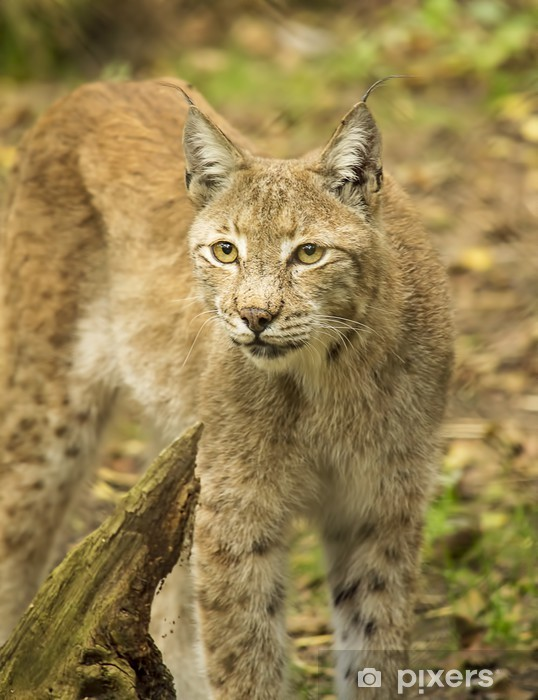 Sticker Pixerstick Le lynx d'Eurasie - Mammifères