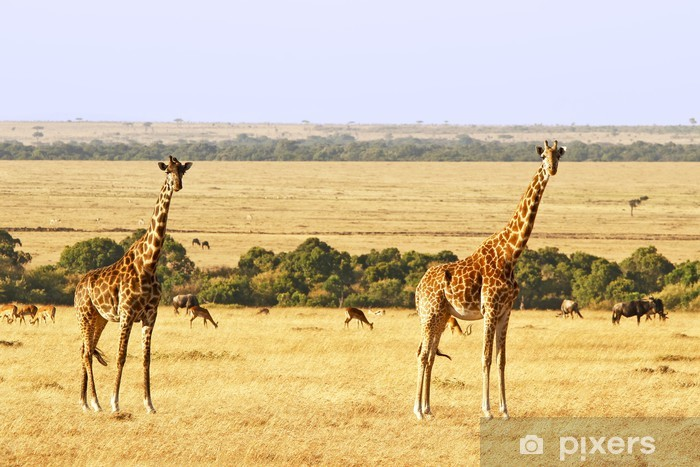 Giraffes on the Masai Mara in Africa Vinyl Wall Mural - Themes
