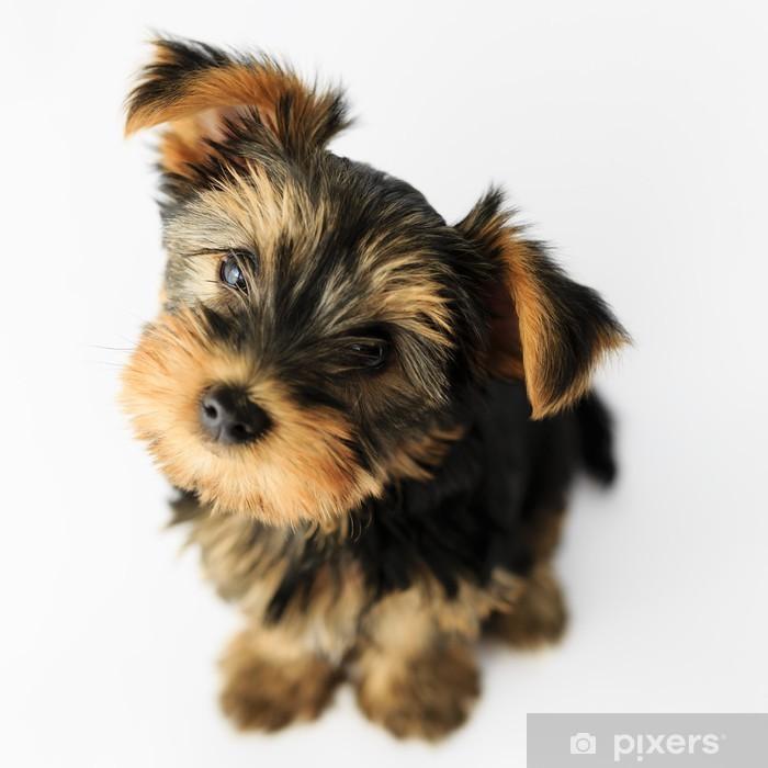 Pixerstick Sticker Yorkshire terrier - portret van een schattige puppy - Zoogdieren