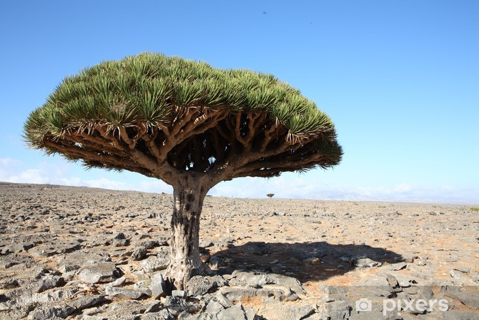 Vinyl-Fototapete Drachenbaum - Bäume
