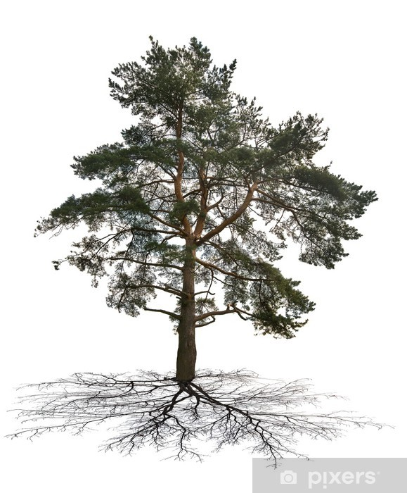 old large dark green pine with root Pixerstick Sticker - Trees