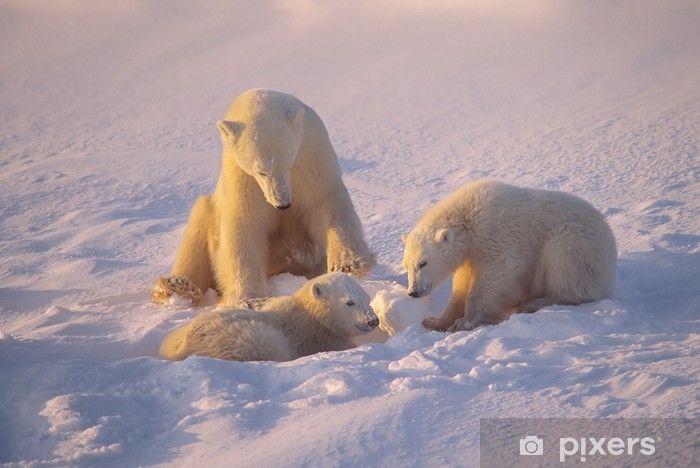 Fototapeta winylowa Niedźwiedź polarny i szczeniaki w niskim słońcu Arctic - Tematy
