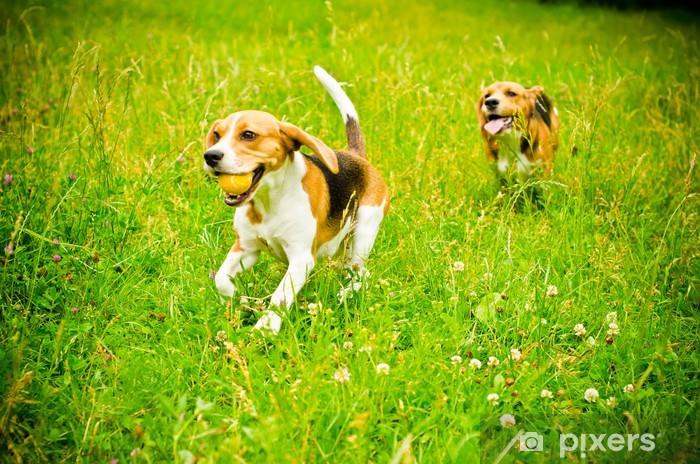 Vinyl Fotobehang Twee beagle - Zoogdieren