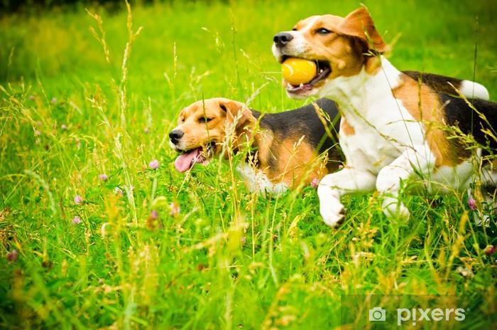Vinyl Fotobehang Twee beagle - Thema's